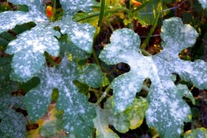 Dudutech - Disease - Powdery Mildew