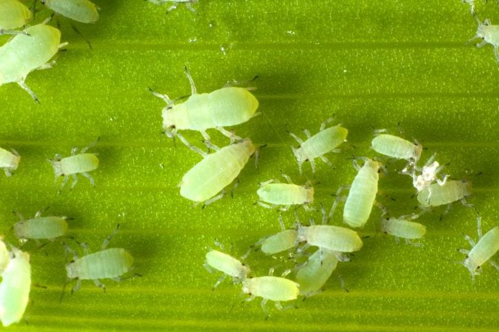 Dudutech - Pest - Aphids