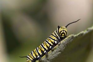 Dudutech - Pest - Caterpillars