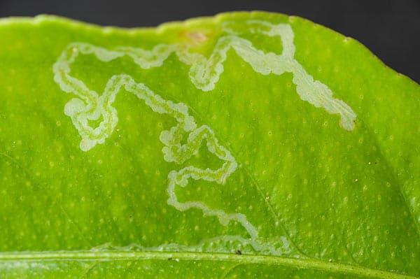 Dudutech - Pest - Leaf Miners