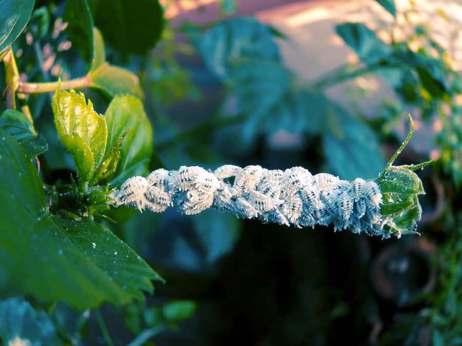 Dudutech - Pest - Mealy bugs