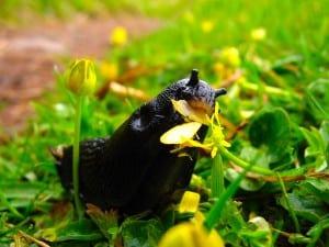 Dudutech - Pest - Slugs
