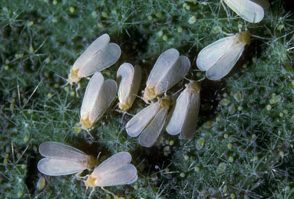 Dudutech - Pest - Whiteflies