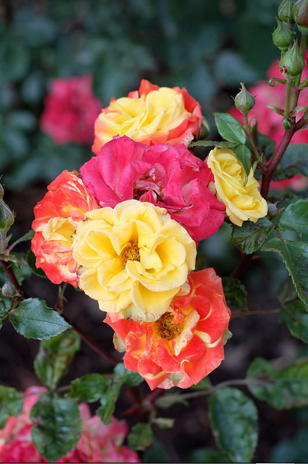 how to grow a different colored rose flowers on the same