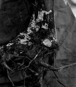 Dudutech - pests - armillaria