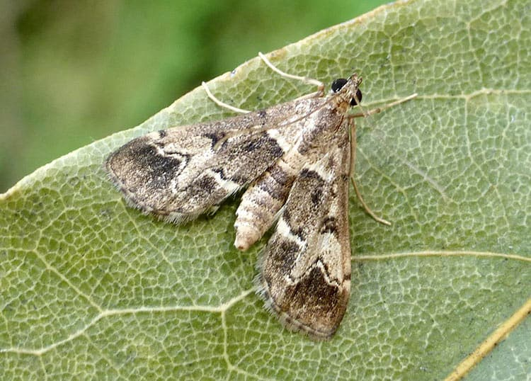 Dudutech - pests - duponchelia