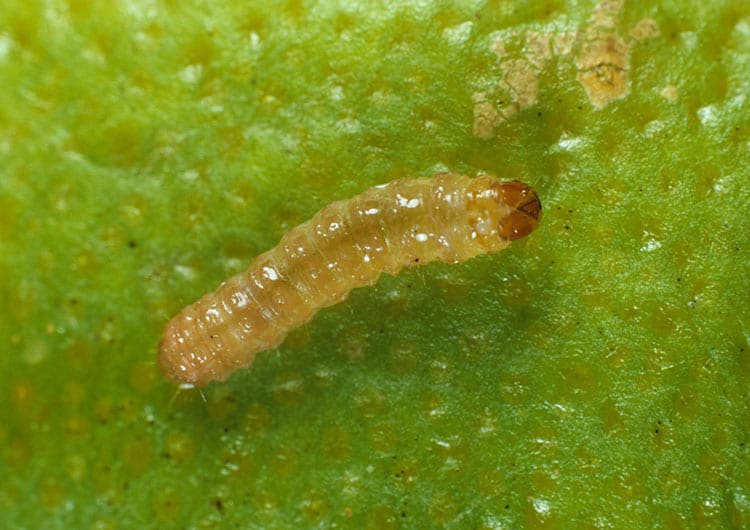 Dudutech - pests - False Coddling Moth